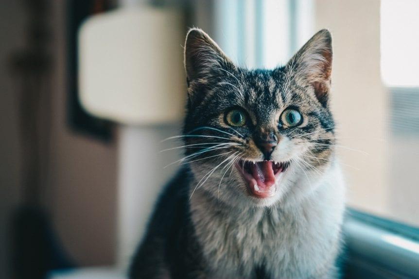 adorable-animal-cat-315582